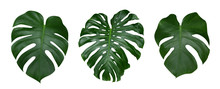 Monstera Plant Leaves, The Tro...