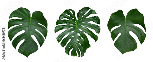 Poster Plant Monstera plant leaves, the tropical evergreen vine isolated on white background, clipping path included