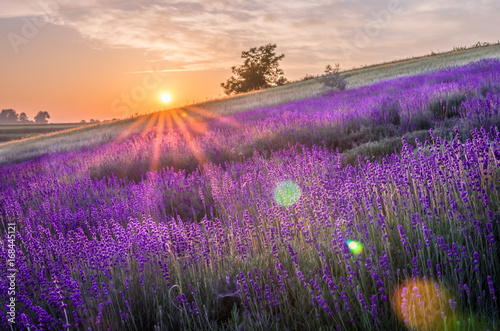 Printed kitchen splashbacks Eggplant Blooming lavender fields in Poland, beautfiul sunrise