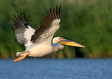 White Pelican Flight Toward Su...