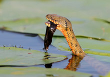 The Dice Snake (Natrix Tessell...