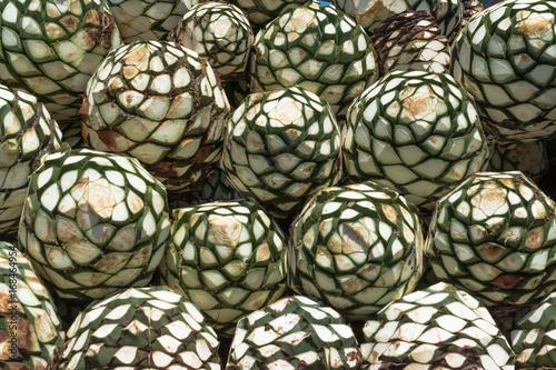 Las bolas de agave natural están listas para hacer tequila. Canvas Print