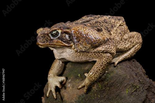 Foto op Plexiglas Krokodil Giant toad, Rhinella marina
