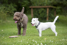 Parson Russell Terrier Puppy Standing Next To A Lagotto Romagnolo Outdoors.