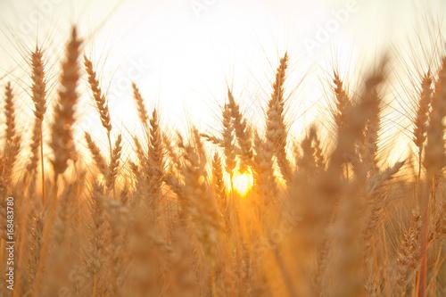 Fotobehang Natuur sunset evening golden wheat field