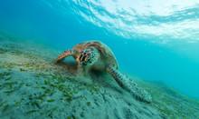 Hawksbill Turtle Eating Sea Grass From Sandy Bottom