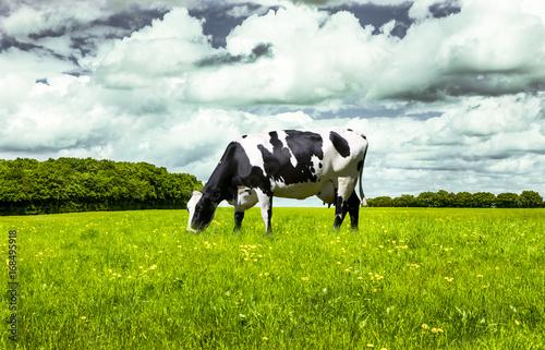 Schwarz/Weiße Kuh auf der Weide