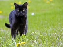 Beautiful Black Cat , Standing...