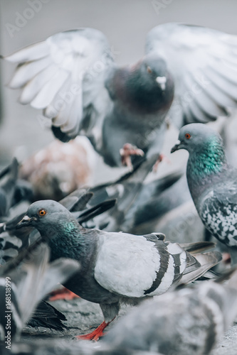 Flock of Pigeons on the street. Dove crowd. Close up