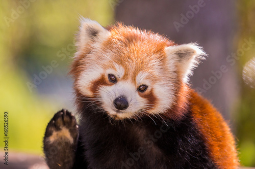 Stickers pour portes Panda Panda roux