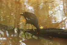 Oiseau D'une Mangrove En République Dominicaine