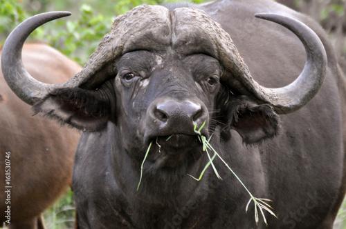 Keuken foto achterwand Buffel buffalo