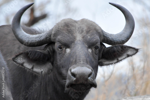 In de dag Buffel buffalo