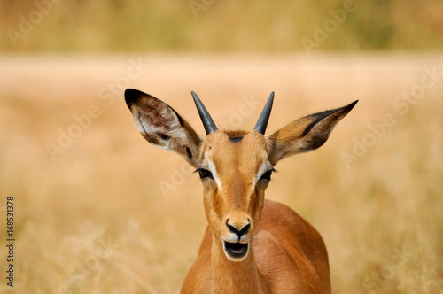 Poster Antilope impala