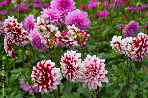 Photo sur Toile Dahlia Dahlien mit rosa Blüten