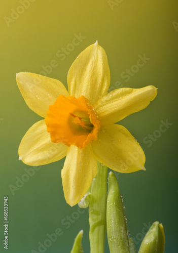 Garden Poster Narcissus Osterglocken