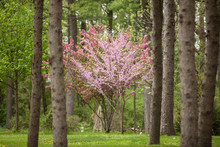Flowering Dogwood And Redbud T...