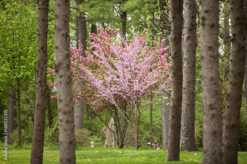 Fényképezés Flowering Dogwood and Redbud Trees in a Pine Forest Horizontal