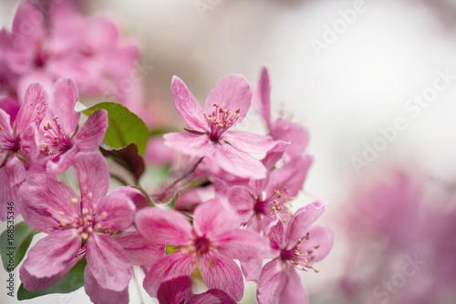Staande foto Roze Dogwood Tree Flowers Close Up In Spring