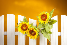 Sunflowers On A Yellow Background. Sunflowers Near A White Fence.