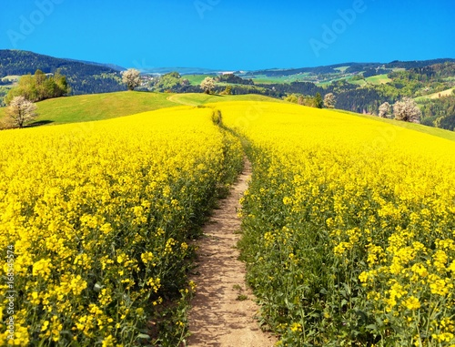 Tuinposter Platteland Field of rapeseed, canola or colza with path way