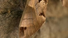 Achemon Sphinx Moth Wing Close...