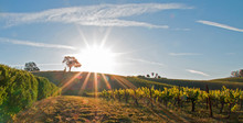 Early Morning Sun Shining Next To Valley Oak Tree On Hill In Paso Robles Wine Country In The Central Valley Of California United States