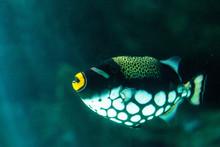 Clown Triggerfish Balistoides ...