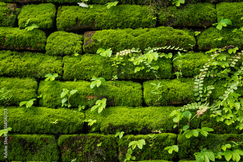 Fototapeta Green moss growing on old brick wall, Evergreen green moss at primitive forest located  Inthanon national park, Chiangmai, Thailand obraz