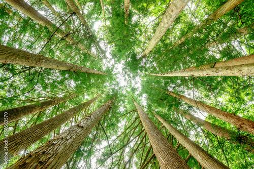 杉の木を見上げる