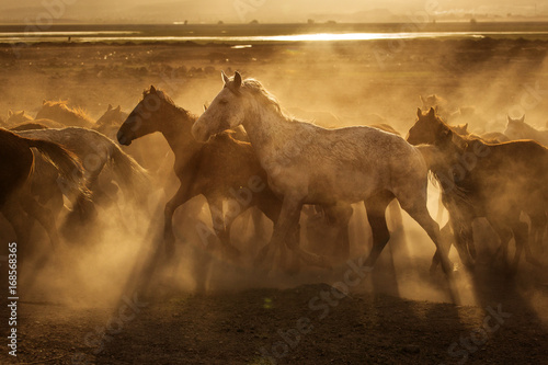 Obraz Wild horses of Cappadocia at sunset with beautiful sands, running and guided by a cawboy - fototapety do salonu