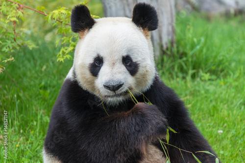 Poster Panda Giant panda, bear panda sitting on the grass eating bamboo