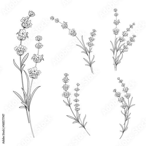 Photo Set of lavender flowers elements