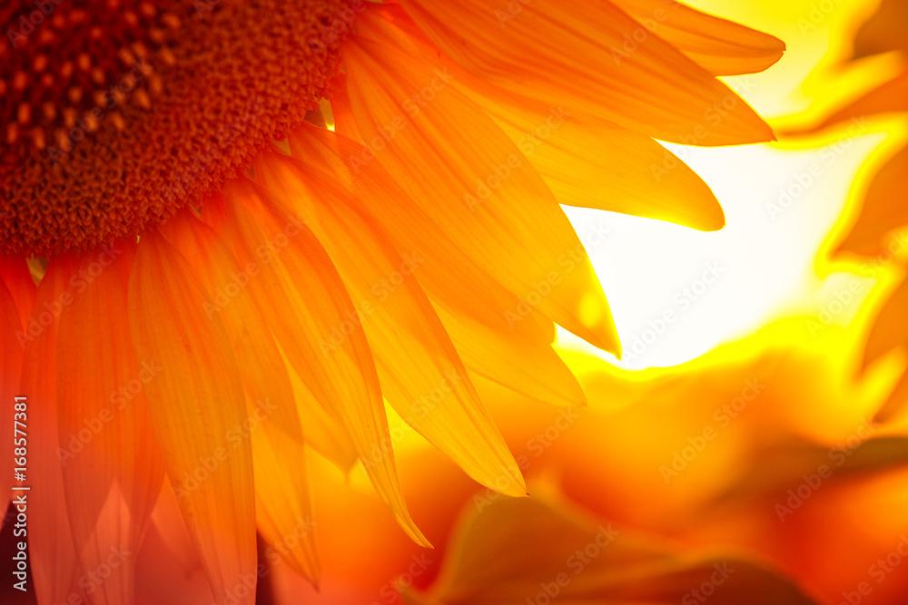 sunflower flower at the sunset