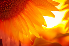 Sunflower Flower At The Sunset
