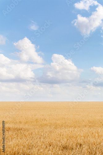 Photo Stands Night blue Summer landscape with grain field and blue sky with clouds. Ukraine