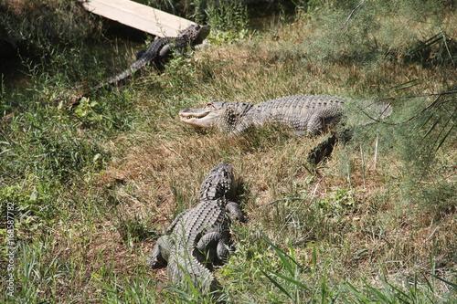 Foto op Plexiglas Krokodil Réserve de Sigean