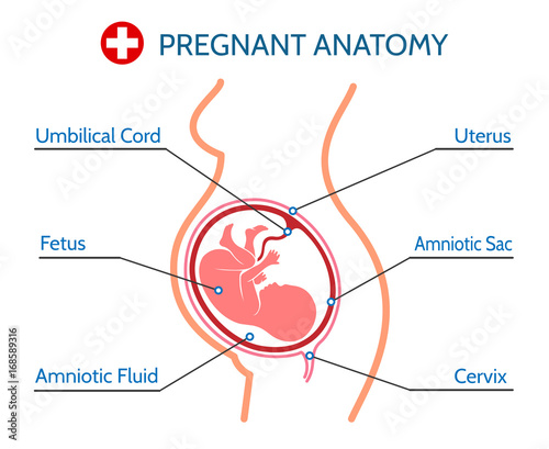 Photo  Pregnancy pregnant anatomy medical vector illustration