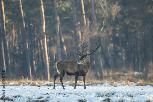 Photo sur Toile Chasse Deer in winter