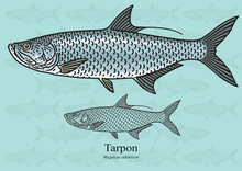 Tarpon. Vector Illustration For Artwork In Small Sizes. Suitable For Graphic And Packaging Design, Educational Examples, Web, Etc.