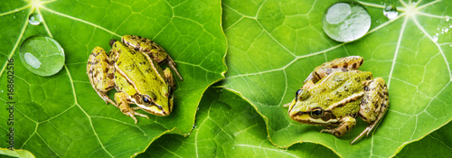 Poster Kikker rana esculenta - common european green frog on a dewy leaf