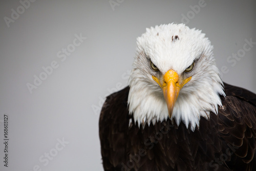 Fotobehang Eagle Bald American eagle isolated
