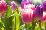 Fototapeta Tulipany - Pink and violet tulips growing outdoors