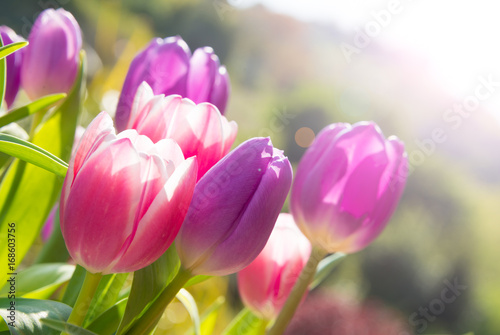 Tuinposter Tulp Pink and violet tulips growing outdoors