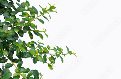 The leaves of the banyan tree on white isolate background