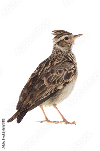Wood Lark Canvas-taulu