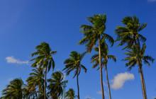 Top Of Coconut Trees Under Blu...