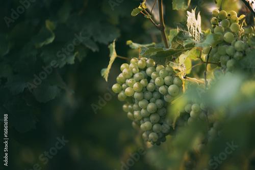 Weintrauben in den Weinbergen des Saale-Unstrut-Gebiets