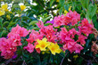 Bougainvillea flowers blooming at the garden