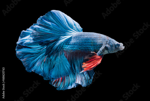 blue siamese fighting fish, betta splendens isolated Wallpaper Mural